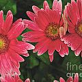 Pink Gerbera Daisy by William Norton
