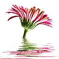 Pink Gerbera Flood 2 by Steve Purnell