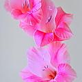 Pink Gladiola by Nathan Abbott