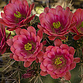 Pink Hedgehog Cactus Flowers  by Saija  Lehtonen