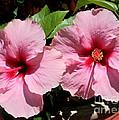 Pink Hibiscus Blooms by Carol Groenen