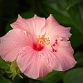 Pink Hibiscus by David Weeks