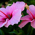 Pink Hibiscus II by Athena Mckinzie