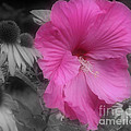 Pink Hibiscus In Partial Color by Smilin Eyes  Treasures
