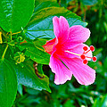 Pink Hibiscus Near Celadon Factory In Chiang Mai-thailand by Ruth Hager