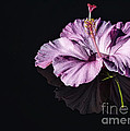 Pink Hibiscus On Black Water by Joshua Roberts