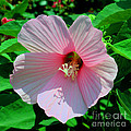 Pink Hibiscus by Luther Fine Art