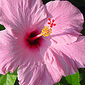 Pink Hibiscus  by Suzanne Gaff
