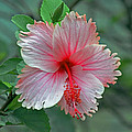 Pink Hibiscus by Tony Murtagh