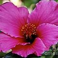 Pink Hibiscus by Wylder Flett
