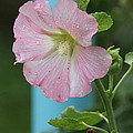 Pink Hollyhock And Rain by Wayne Williams