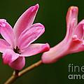 Pink Hyacinth Closeup by Larry Ricker
