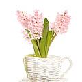 Pink Hyacinths by Amanda Elwell