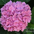 Pink Hydrangea All Profits Benefit Hospice Of The Calumet Area by Joanne Markiewicz