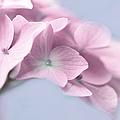 Pink Hydrangea Flower Macro by Jennie Marie Schell