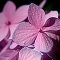 Pink Hydrangea by Rona Black