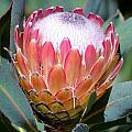 Pink Ice Protea by Werner Lehmann