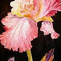 Pink Iris by Carol Grimes