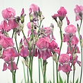 Pink Iris by Suzanne Powers
