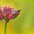 Pink Jester In Greene by Sylvia J Zarco