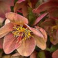 Pink Lenten Rose by Mel Hensley