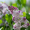 Pink Lilacs And Green Leaves - Featured 3 by Alexander Senin