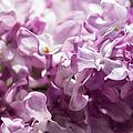 Pink Lilacs Closeup - Featured 3 by Alexander Senin