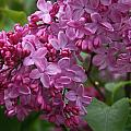 Pink Lilacs by Elizabeth Rose