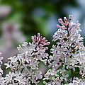 Pink Lilacs - Featured 2 by Alexander Senin