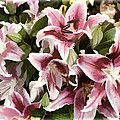 Pink Lilies I by Sylvia Thornton
