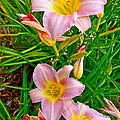 Pink Lilies Near Ottawa-on by Ruth Hager