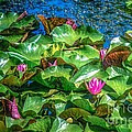 Pink Lilly Flowers And Pads by Peggy Franz
