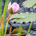 Pink Lily And Pads by Eric  Schiabor