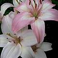 Pink Lily by Nancie Johnson