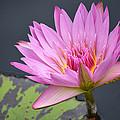Pink Lotus by Caroline Blau