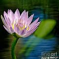 Purple Petals Lotus Flower Impressionism by Carol F Austin