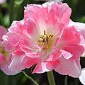 Pink Love Tulip by Rosanne Jordan
