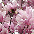 Pink Magnolia Blossoms Washington Dc by Luv Photography