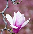 Pink Magnolia Flower by Oscar Gutierrez