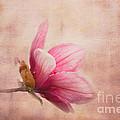 Pink Magnolia I by Jai Johnson