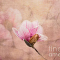 Pink Magnolia II by Jai Johnson
