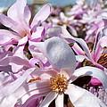 Pink Magnolia  by Lena Photo Art