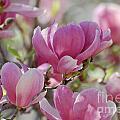 Pink Magnoloias In Bloom by DejaVu Designs