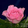 Pink Mist 8498 by Terri Winkler