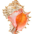 Pink Mouthed Murex Shell by Jim Hughes