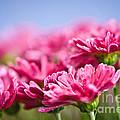 Pink Mums by Elena Elisseeva