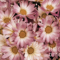 Pink Mums by Jim And Emily Bush