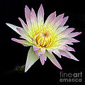 Pink N Yellow Water Lily Too by Sabrina L Ryan