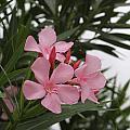 Pink Oleander 4 by Cathy Lindsey