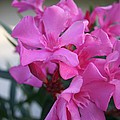 Pink Oleander Bunch by Tracey Harrington-Simpson